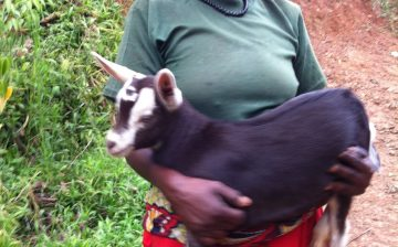 Goat loan and Cross Breed  Dairy goat program