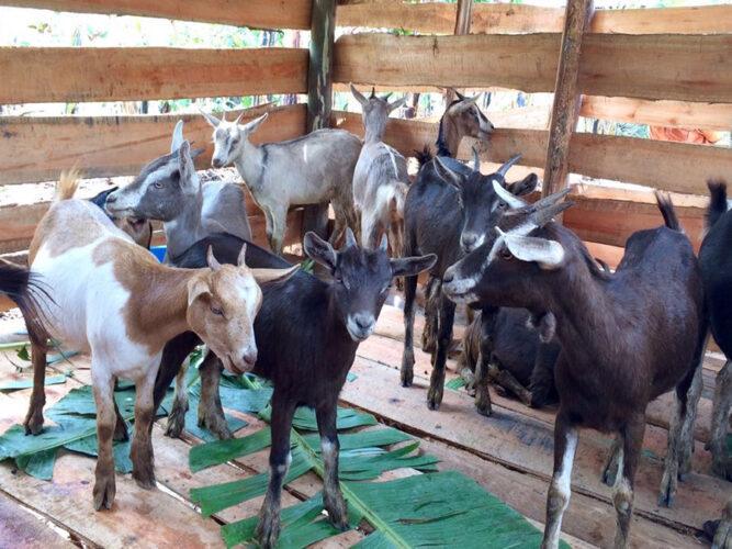 900 x 675 goats